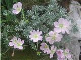 Srebrna krvomočnica (Geranium argenteum)