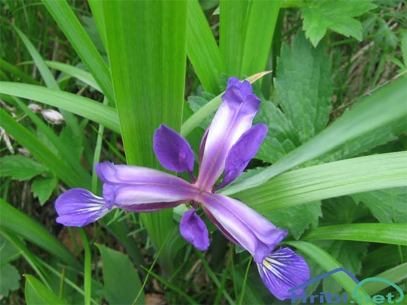 Travnolistna perunika (Iris graminea) - PictureTravnolistna perunika (Iris graminea)