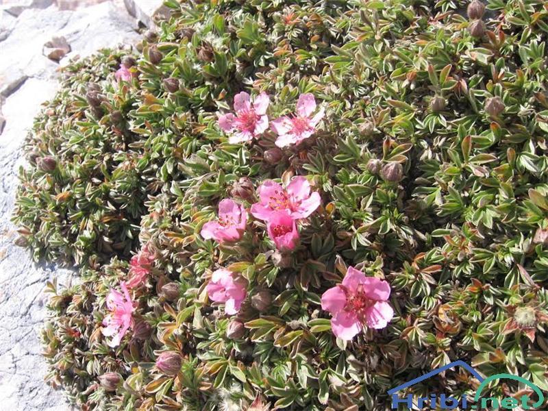 Triglavska roža (Potentilla nitida) - PictureTriglavska roža (Potentilla nitida)