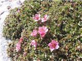 Triglavska roža (Potentilla nitida)