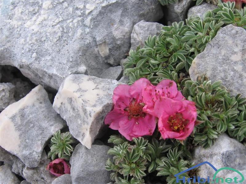 Triglavska roža (Potentilla nitida) - SlikaTriglavska roža (Potentilla nitida)