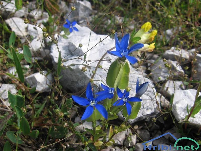 Trebušasti svišč (Gentiana utriculosa) - PictureTrebušasti svišč (Gentiana utriculosa)
