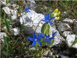 Trebušasti svišč (Gentiana utriculosa)