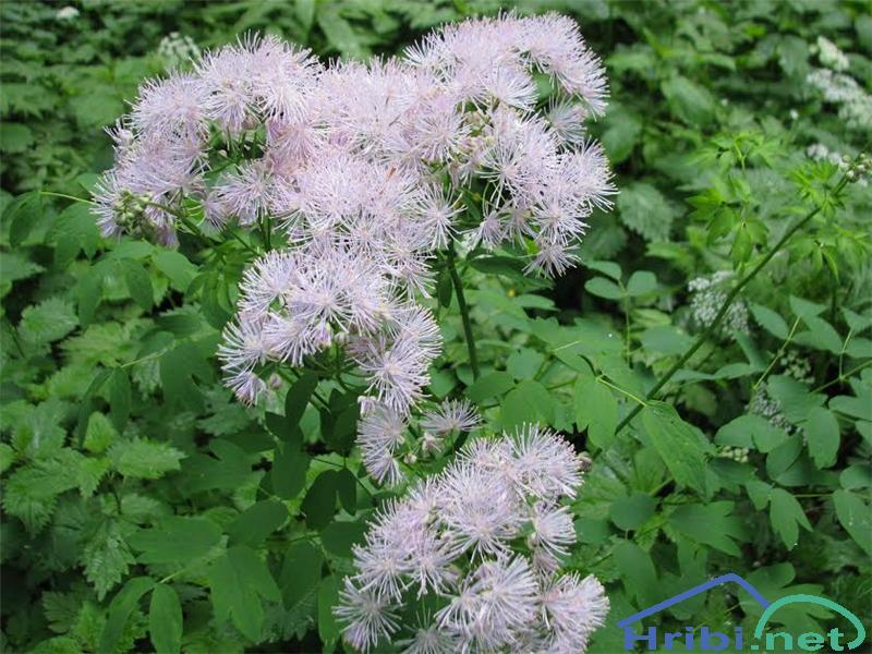 Orličnolistni talin ali vetrovka (Thalictrum aquilegiifolium) - SlikaOrličnolistni talin ali vetrovka (Thalictrum aquilegiifolium)