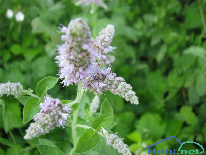 Mentha spicata agg. - SlikaMentha spicata agg, foto Velkavrh.