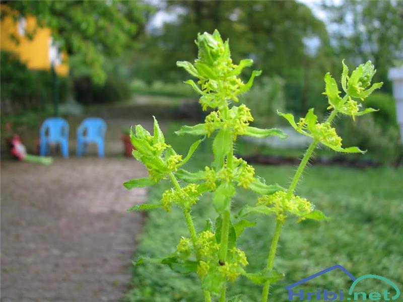 Navadna dremota (Cruciata laevipes) - PictureNavadna dremota (Cruciata laevipes), foto Velkavrh.