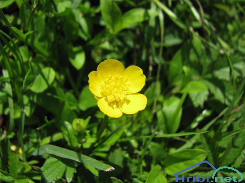Plazeča zlatica (Ranunculus repens) - SlikaPlazeča zlatica (Ranunculus repens), foto Velkavrh.