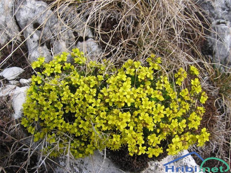 Vednozelena gladnica (Draba aizoides) - PictureVednozelena gladnica (Draba aizoides)