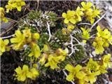 Vednozelena gladnica (Draba aizoides)