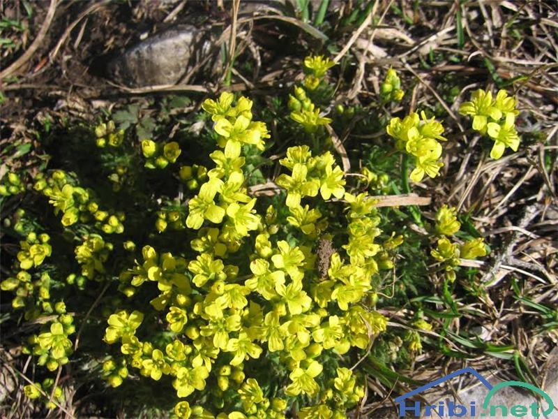 Vednozelena gladnica (Draba aizoides) - SlikaVednozelena gladnica (Draba aizoides)