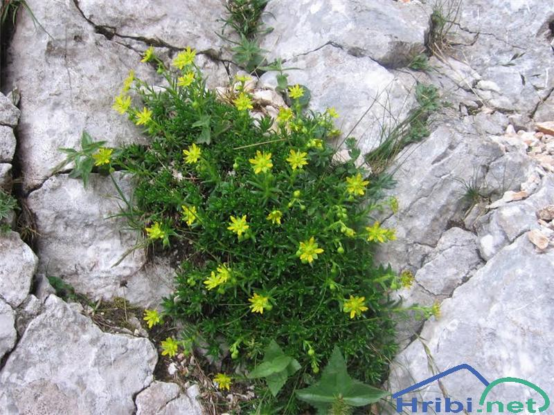 Vednozeleni kamnokreč (Saxifraga aizoides) - PictureVednozeleni kamnokreč (Saxifraga aizoides)