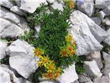 Vednozeleni kamnokreč (Saxifraga aizoides)