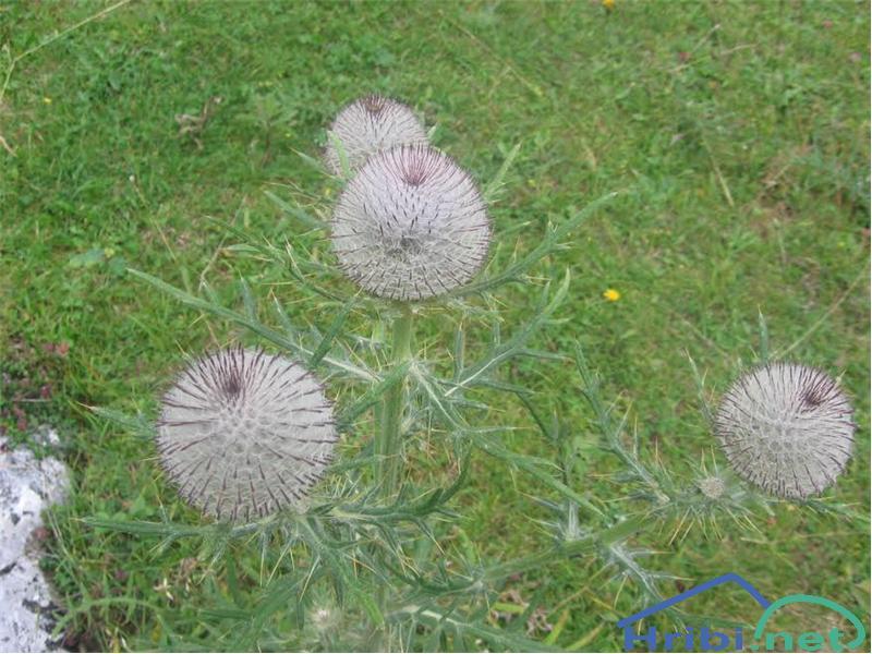 Volnatoglavi osat (Cirsium eriophorum) - PictureVolnatoglavi osat (Cirsium eriophorum)