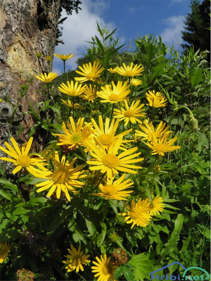 Vrbolistni primožek (Buphthalmum salicifolium) - SlikaVrbolistni primožek (Buphthalmum salicifolium)