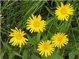 Yellow oxeye daisy (Buphthalmum salicifolium)