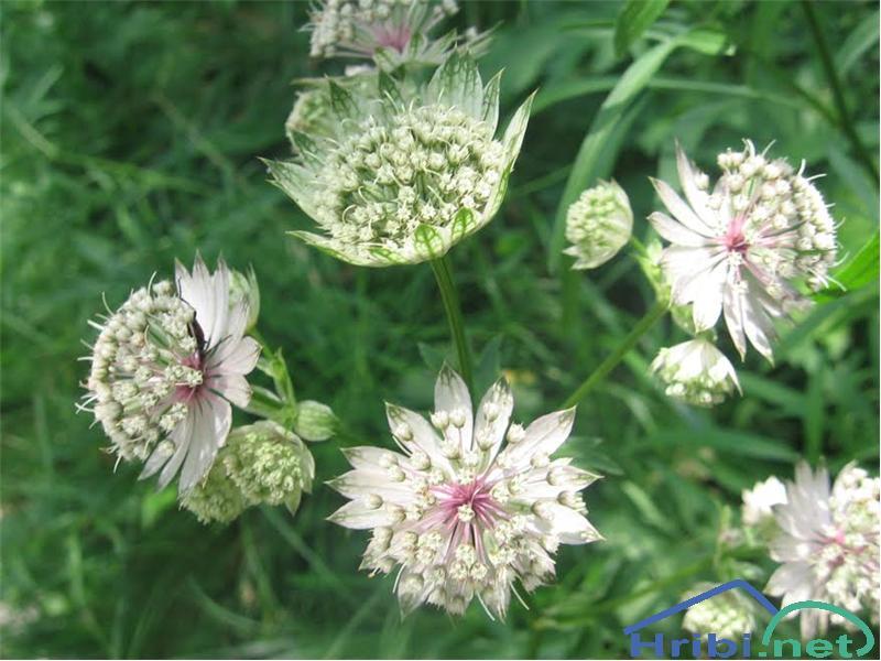 Veliki zali kobulček (Astrantia major) - PictureVeliki zali kobulček (Astrantia major)