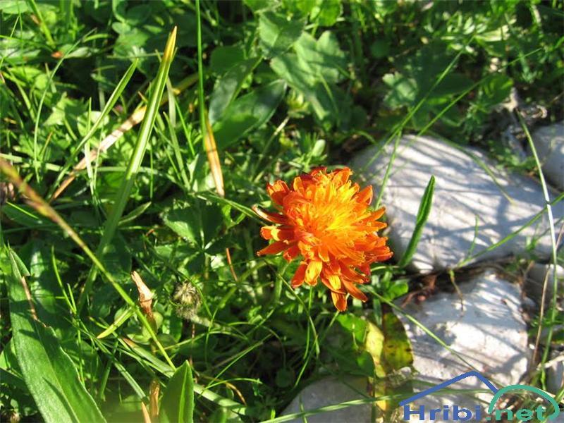 Zlati dimek (Crepis aurea) - PictureZlati dimek (Crepis aurea)