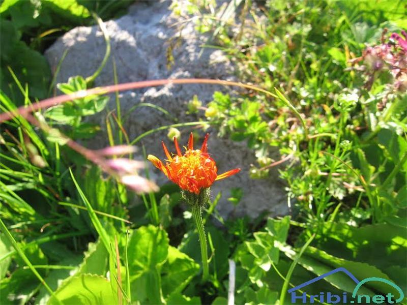 Zlati dimek (Crepis aurea) - SlikaZlati dimek (Crepis aurea)