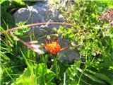 Zlati dimek (Crepis aurea)