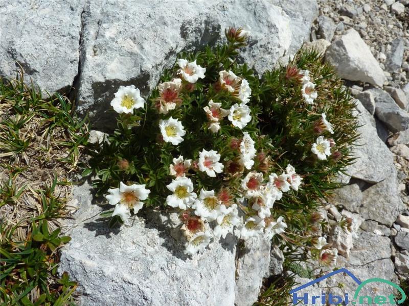 Clusijev petoprstnik (Potentilla clusiana) - PictureClusijev petoprstnik (Potentilla clusiana), foto Zlatica.