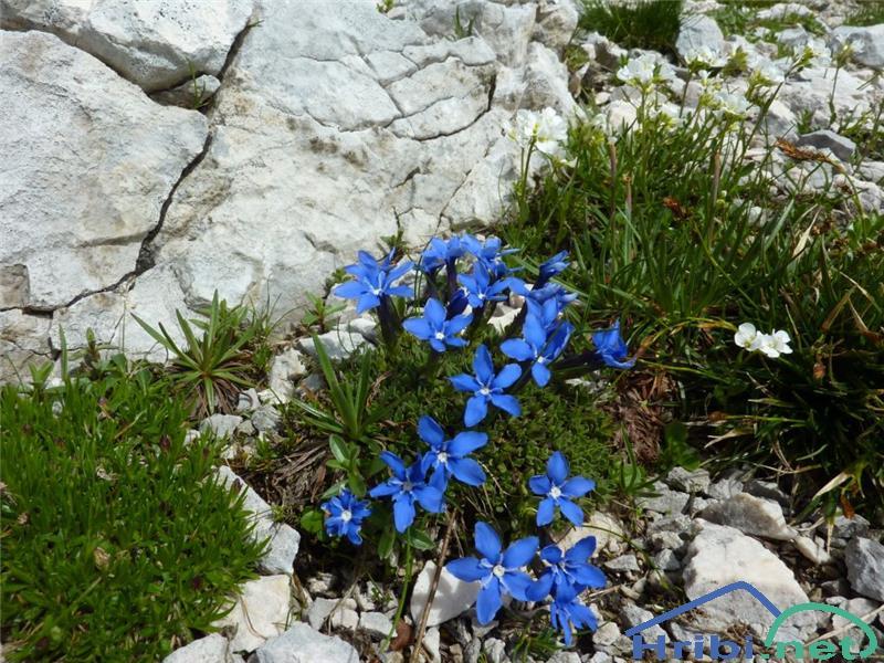 Triglavski svišč (Gentiana terglouensis) - SlikaTriglavski svišč (Gentiana terglouensis), foto Zlatica.
