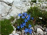Triglavski svišč (Gentiana terglouensis)