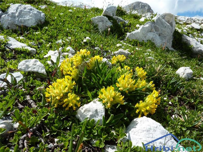 Alpski ranjak (Anthyllis vulneraria ssp. alpestris) - PictureAlpski ranjak (Anthyllis vulneraria ssp. alpestris), foto Zlatica.