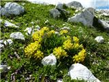Alpski ranjak (Anthyllis vulneraria ssp. alpestris)