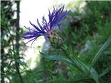 Centaurea triumfettii