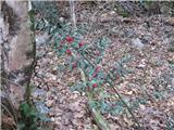 Bodeča lobodika (Ruscus aculeatus)