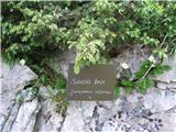 Sibirski ali pritlikavi brin (Juniperus alpina)