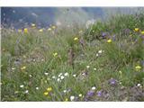 strupena lepotica na cvetoči preprogi