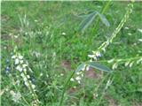 Bela medena detelja (Melilotus alba)