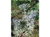 Ametistasta možina (Eryngium amethystinum)
