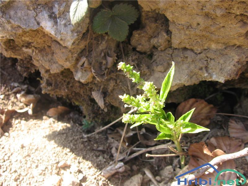 Trpežni golšec (Mercurialis perennis) - PictureTrpežni golšec (Mercurialis perennis)