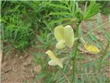 Čičkasti grahovec (Astragalus cicer)