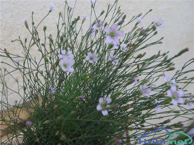 Navadna haljica (Petrorhagia saxifraga) - PictureNavadna haljica (Petrorhagia saxifraga)