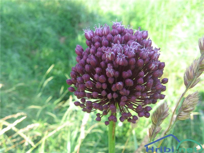 Poletni luk (Allium ampeloprasum) - PicturePoletni luk (Allium ampeloprasum)
