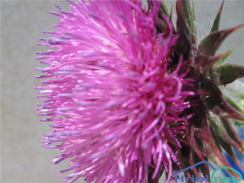 Kimasti bodak (Carduus nutans ssp. nutans) - PictureKimasti bodak (Carduus nutans ssp. nutans)