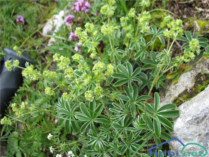 Velebitska plahtica (Alchemilla velebitica) - PictureVelebitska plahtica (Alchemilla velebitica)