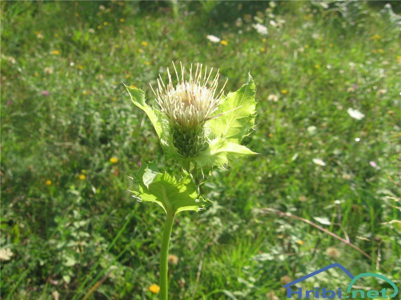 Mehki osat (Cirsium oleracum) - SlikaMehki osat (Cirsium oleracum)