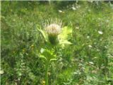 Mehki osat (Cirsium oleracum)