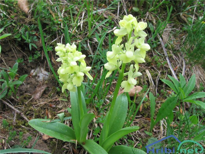 Bleda kukavica (Orchis pallens) - PictureBleda kukavica (Orchis pallens)
