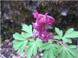 Čvrsti petelinček (Corydalis solida)