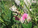 Širokolistni grahor (Lathyrus latifolius)