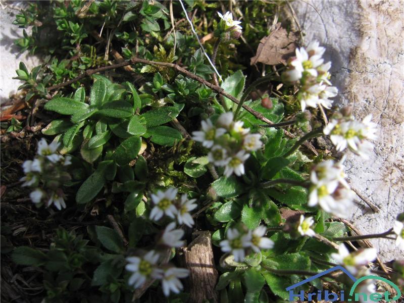 Nizki repnjak (Arabis bellidifolia) - SlikaNizki repnjak (Arabis bellidifolia)