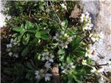 Arabis bellidifolia