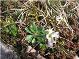 Nizki repnjak (Arabis bellidifolia)