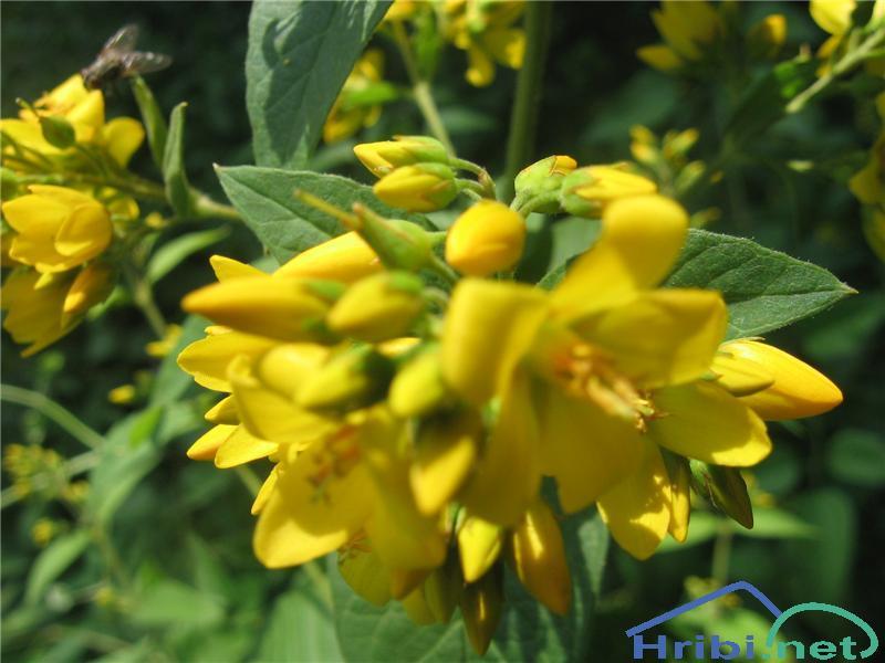 Navadna pijavčnica (Lysimachia vulgaris) - SlikaNavadna pijavčnica (Lysimachia vulgaris)