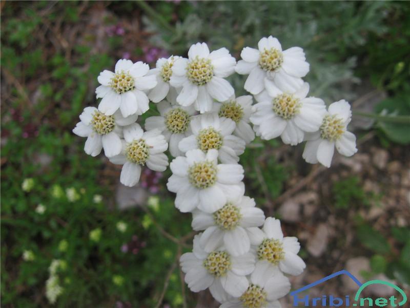 Alpski ali bleščeči pelin (Artemisia nitida) - SlikaAlpski ali bleščeči pelin (Artemisia nitida)